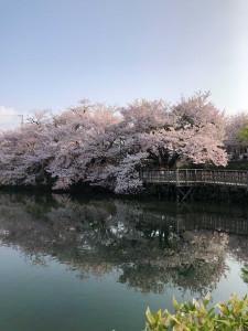 01_桟橋からの桜